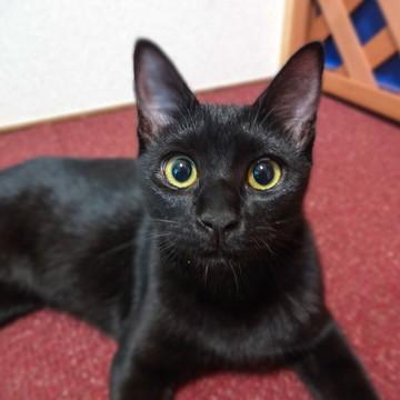 黒猫猫フローリングの猫画像