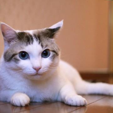サバトラ白猫フローリングの猫画像