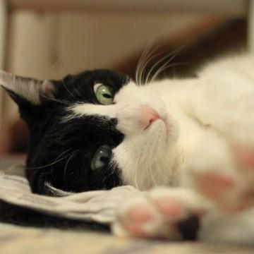 ハチワレ猫布団の猫画像