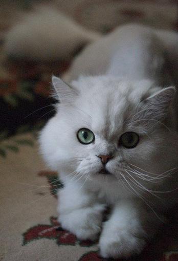 白猫カーペットの猫画像