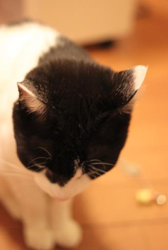 ハチワレ白猫屋内の猫画像