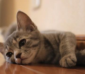 サバトラ猫フローリングの猫画像