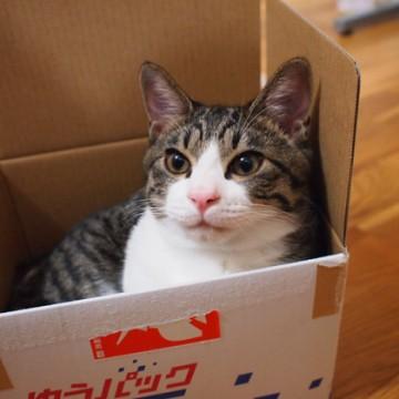 キジトラ白猫ダンボールの猫画像