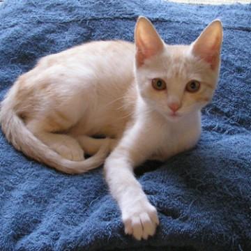 茶トラ白猫座布団の猫画像