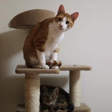 茶トラ白猫キジトラ猫キャットタワーの猫画像