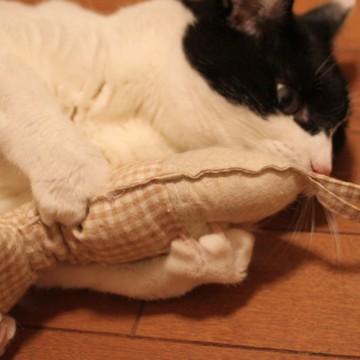 ハチワレ猫おもちゃの猫画像