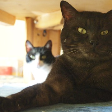黒猫ハチワレ猫テーブルの猫画像