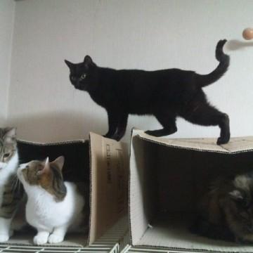 サバトラ白猫黒猫サビ猫ダンボールの猫画像