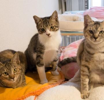 キジトラ猫キジトラ白猫布団の猫画像