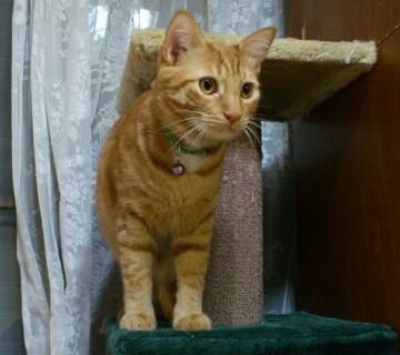 茶トラ猫キャットタワーの猫画像