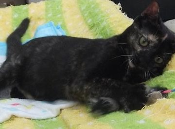 黒猫布団猫じゃらしの猫画像