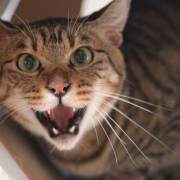 キジトラ猫威嚇の猫画像