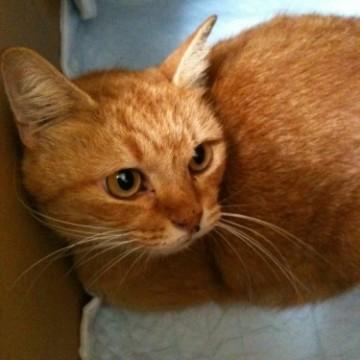 茶トラ猫ダンボールの猫画像