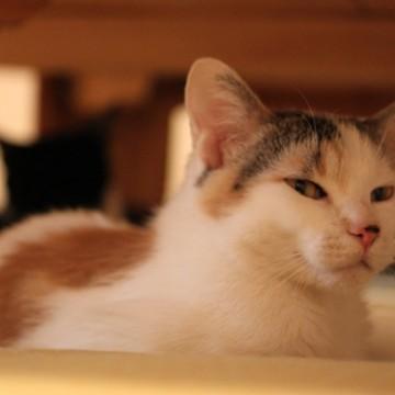 三毛猫黒猫屋内の猫画像