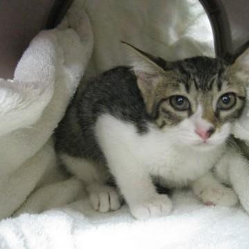 サバトラ白猫毛布の猫画像