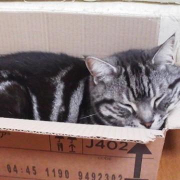 サバトラ猫ダンボールの猫画像