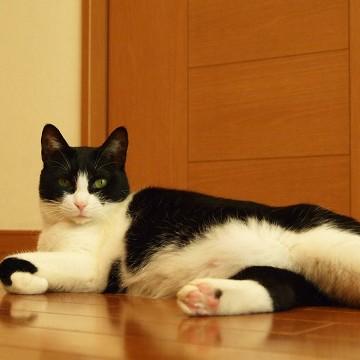 ハチワレ猫フローリングの猫画像
