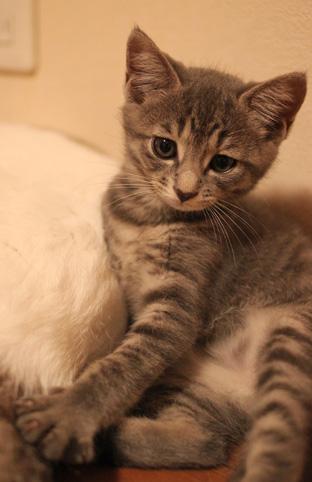 サバトラ猫子猫の猫画像