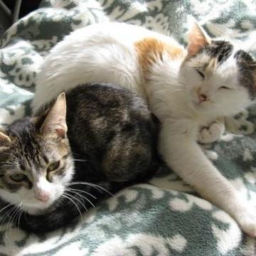 とび三毛猫キジトラ白猫毛布の猫画像