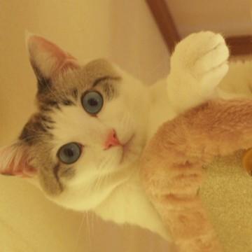サバトラ白猫キャットタワーの猫画像