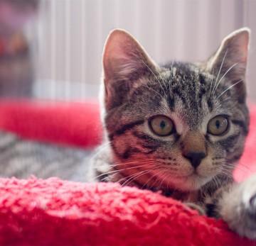 キジトラ猫布団の猫画像