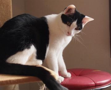 ハチワレ猫キャットタワーの猫画像