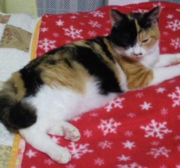 三毛猫布団の猫画像