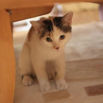 とび三毛猫カーペットの猫画像