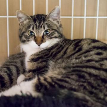 キジトラ白猫檻の猫画像