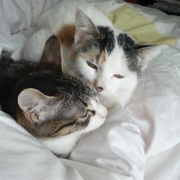 三毛猫キジトラ白猫布団の猫画像