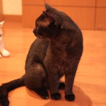 黒猫サバトラ白猫屋内の猫画像