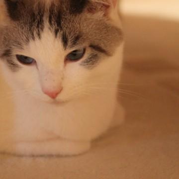 サバトラ白猫カーペットの猫画像
