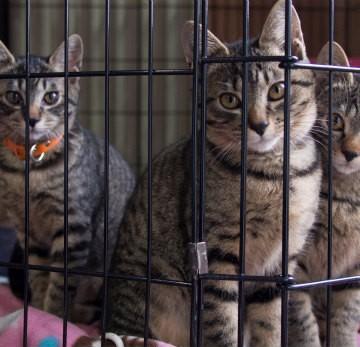 キジトラ猫檻の猫画像