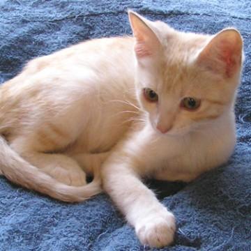 茶トラ白猫タオルの猫画像