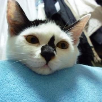黒白猫の猫画像