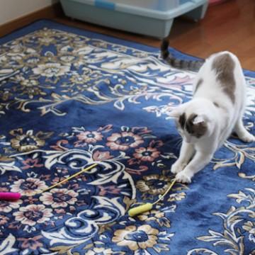 サバトラ白猫猫じゃらしの猫画像
