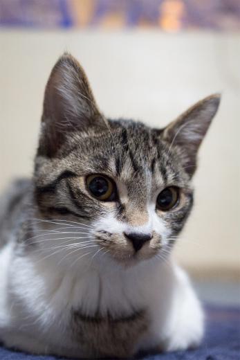 キジトラ白猫屋内の猫画像