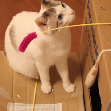 サバトラ白猫ダンボール猫じゃらしの猫画像