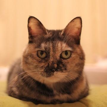 サビ猫布団の猫画像