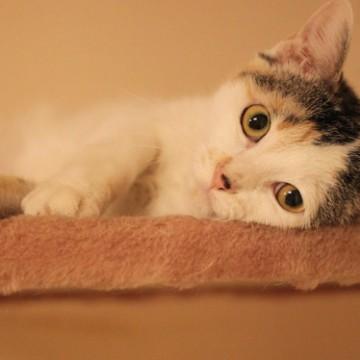 とび三毛猫キャットタワーの猫画像