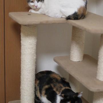 三毛猫キャットタワーの猫画像