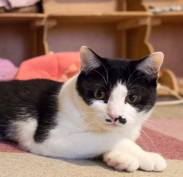 ハチワレ猫カーペットの猫画像