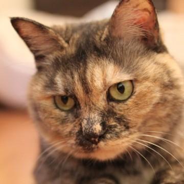 サビ猫屋内の猫画像
