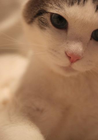 サバトラ白猫屋内の猫画像