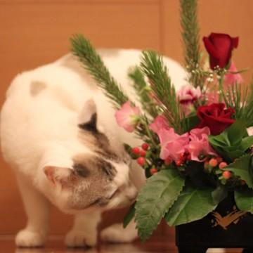 サバトラ白猫ブーケの猫画像
