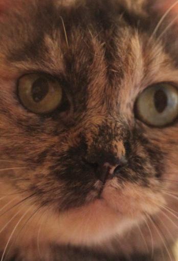 サビ猫の猫画像