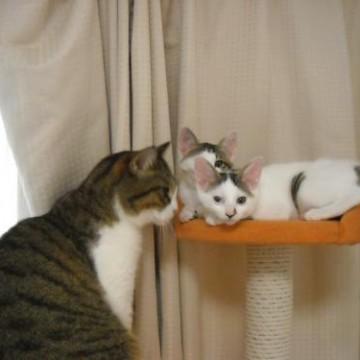 キジトラ猫とび三毛猫キャットタワーの猫画像