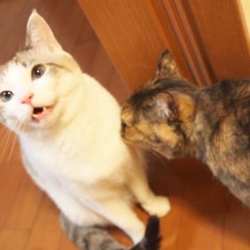 サバトラ白猫サビ猫屋内の猫画像
