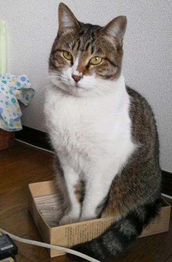 キジトラ猫箱の猫画像