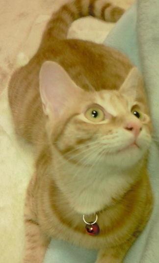 茶トラ猫の猫画像